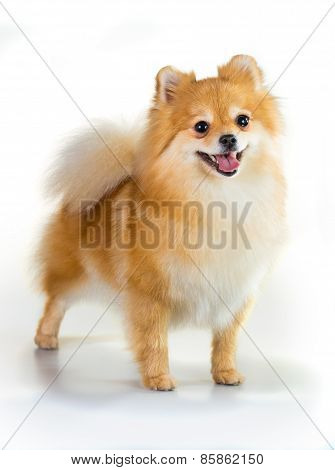 Pomeranian Dog Over White Background