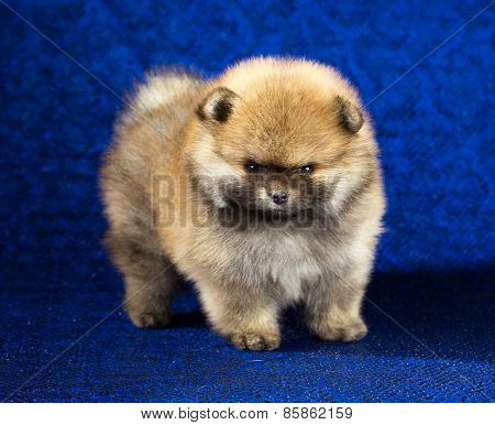 Pomeranian Puppy Age Of 1,5 Month Over Blue Background
