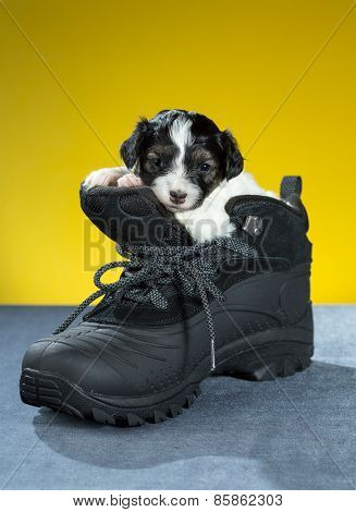 Little Puppy Sitting In Shoe