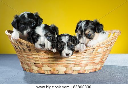 Four Small Puppy In A Basket