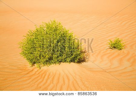 Bushes among the waves of the sand desert