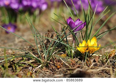purple crocus - one of the first spring flowers