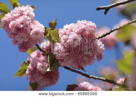 Sakura Spring Pink Flowers