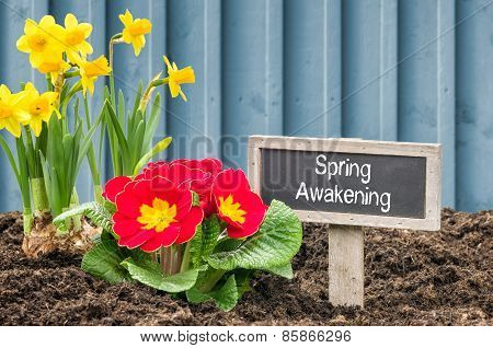Daffodils And Primroses With The Label Spring Awakening