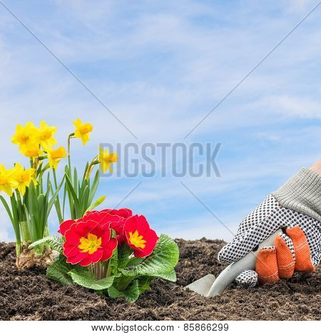 A Gardener Is Planting Daffodils And Primroses