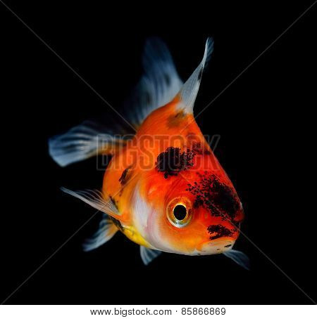 Goldfish On Black Background