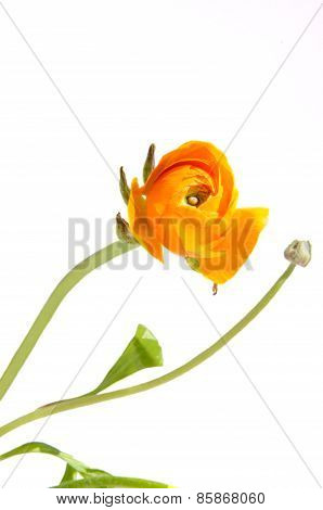 Ranunculus (buttercups), Isolated On White