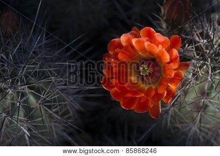 Desert cactus wildflower spring blooming