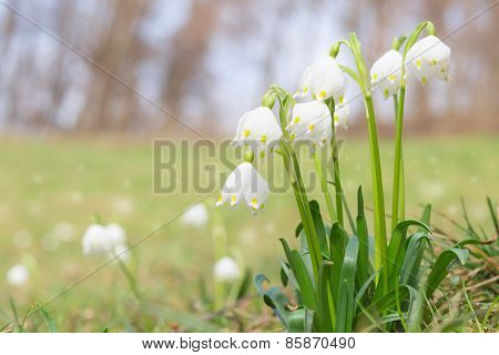 Leucojum Spring Snowdrops On Shiny Glade In Forest