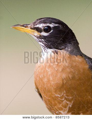 American Robin Portrait