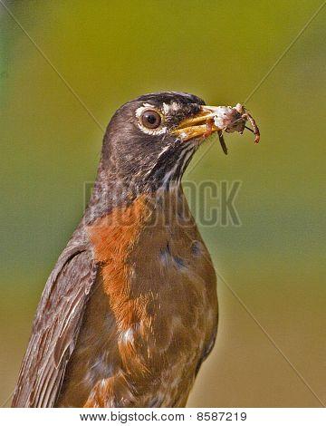 American Robin Portrait Eating Spider