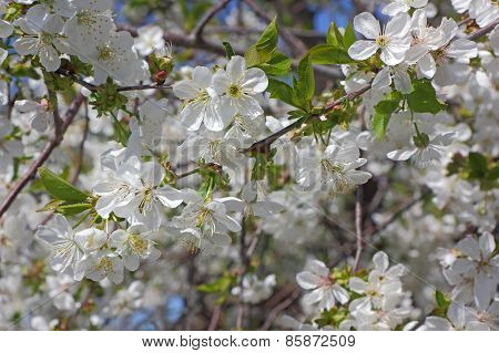 Flowers Of An Cherry Tree