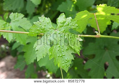 Sick Vine Leaf