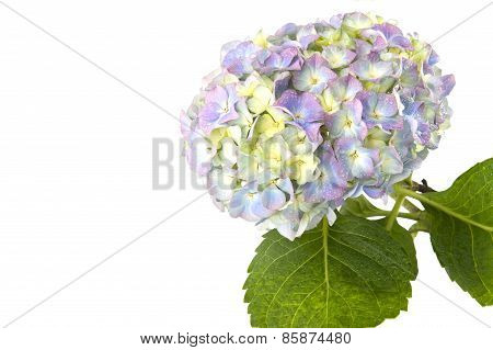Blue Hydrangea Flower On A White Background With Space For Text..