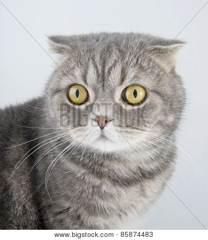 Portrait Cat Of Breed The Scottish Fold..