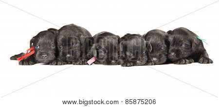 Black Puppies Of Miniature Schnauzer