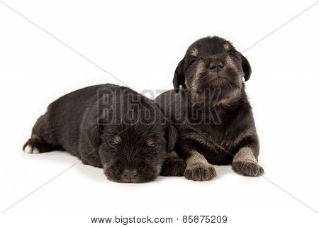 Miniature Schnauzer Black Puppies