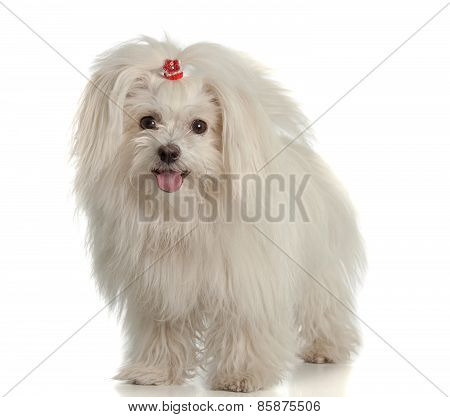 White Maltese Dog On White Background