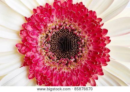 Beautiful Gerber Flower