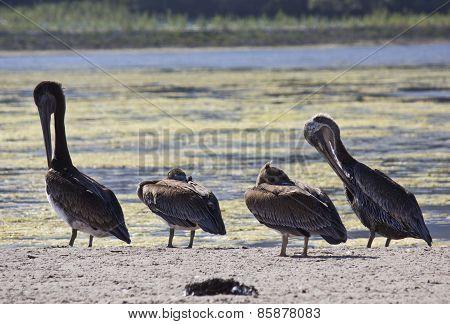 Family Of Pelicans On Malibu Lagoon