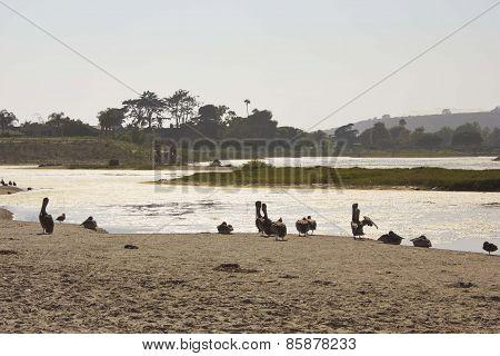 Pelicans On Malibu Lagoon
