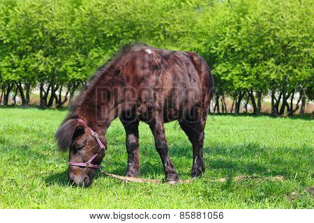 Brown Pony Grazing