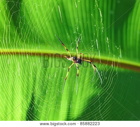 Giant wood spider - Nephila maculata / nephila pilipes, the Golden Orb Weaver or Banana Spider at Seychelles, La Digue.