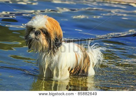 Shih Tzu dog in the water