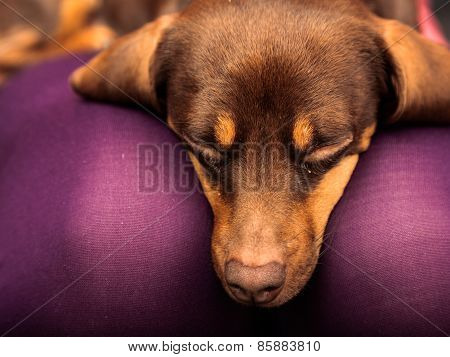 Mixed Dog Relaxing On Human Legs