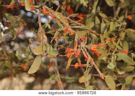 Loranthus Acaciae blossom
