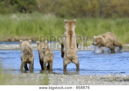 Brown bear sow and cubs waiting for salmon