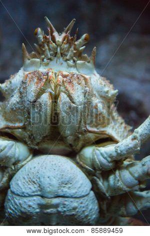 Crab swimming in a tank at the aquarium