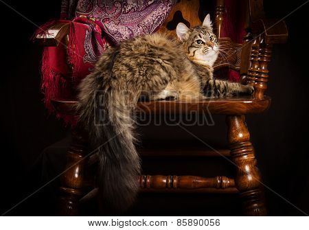 purebred Siberian cat lying on a chair