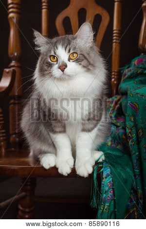 purebred Siberian cat sitting on a chair