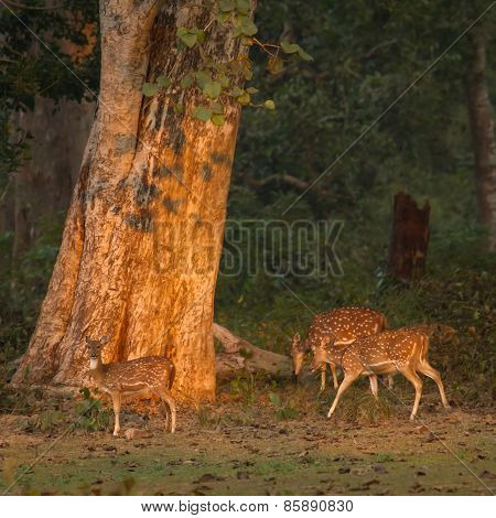 Three Spotted Deer At Dawn In Nepal