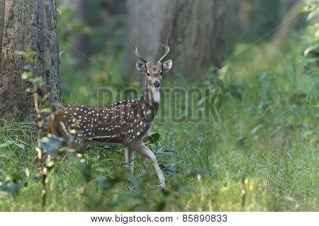 Spotted Deer In Nepal