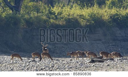 Group Of Spotted Deers In Nepal