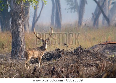 Spotted Deer Male In Bardia, Nepal