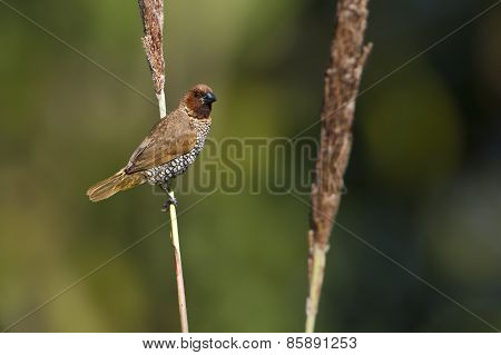 Scaly-breasted Munia Bird In Bardia, Nepal