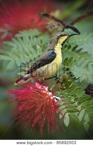 Purple Sunbird In Red Powder Puff Tree Flowers