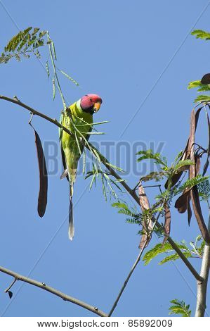 Plum-headed Parakeet perched on a branch In Nepal