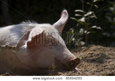 Portrait Of A Domestic Pig In Nepali Farm, Bardia, Nepal