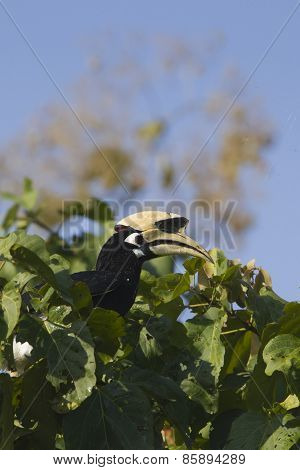 Oriental Pied Hornbill Bird In bardia national park, Nepal