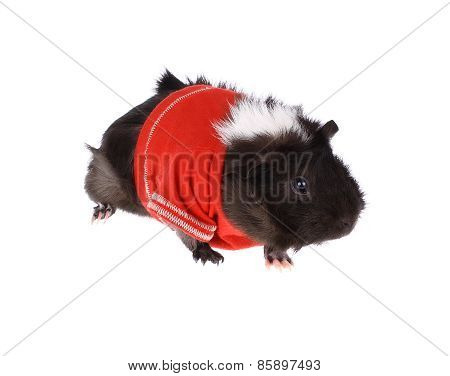 Guinea Pig in Red Shirt