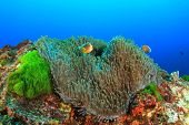 foto of skunk  - Skunk Clownfish - JPG