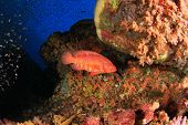 image of grouper  - Coral Grouper fish on underwater ocean reef - JPG