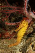 pic of seahorse  - Tigertail Seahorse - JPG