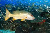 foto of red snapper  - Snappers feeding frenzy - JPG