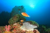 stock photo of skunk  - Skunk Anemonefish on underwater coral reef - JPG