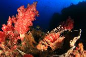 foto of dwarf  - Dwarf Lionfish and colourful corals - JPG